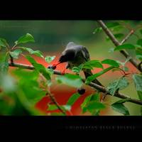 moments with a 'Himalayan Black Bulbul'