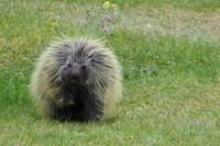 Porcupine on a Sunday stroll