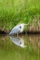Heron at rest