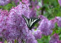 Butterfly on Lilacs
