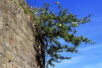 Hawthorn in brick wall
