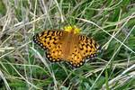 Colorado Butterfly