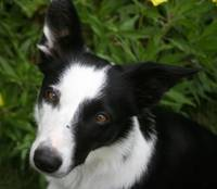Witchy - the border collie