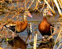 Blackbelly Whistling Ducks #5
