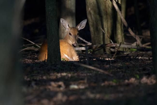 Deer in a Sunbeam-2