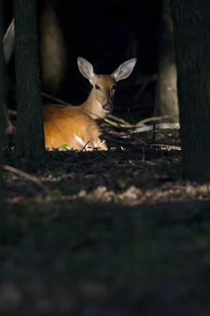 Deer in a Sunbeam-3