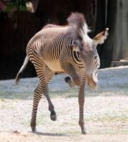 Playful Young Zebra