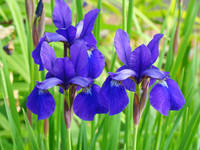 Purple Irises Flower Garden art prints