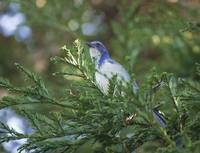 BlueJay in Evergreen