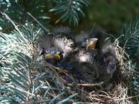 Crowded baby sparrows