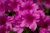 purple_flower