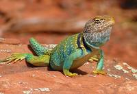 Eastern-Collared-Lizard