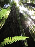 Dwarfed by Redwoods