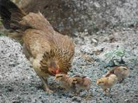 Momma & Chicks