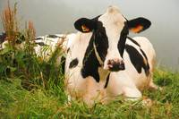 Holstein cow facing camera