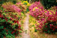Footpath with azaleas