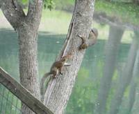 Two squirrels playing by the pond