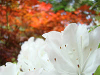 White Rhododedrons Flowers art Rhodies