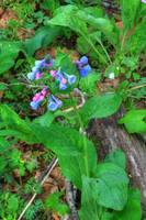 Virginia Bluebells (IMG_1776+) by Jeff VanDyke
