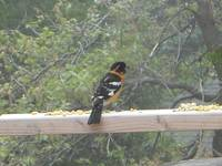 Magnificent Oriole