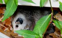 Nap Time for Baby Opossum