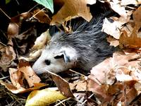 Opossum in the Leaves
