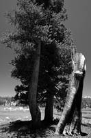 Tuolumne Meadow - tree (B&W)