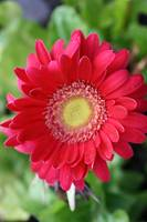 Red Gerber Daisy top view