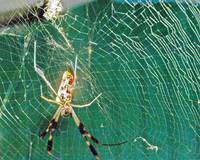 Banana Spider with his web.