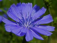 Botanical - Cichorium Intybus - Outdoors Floral