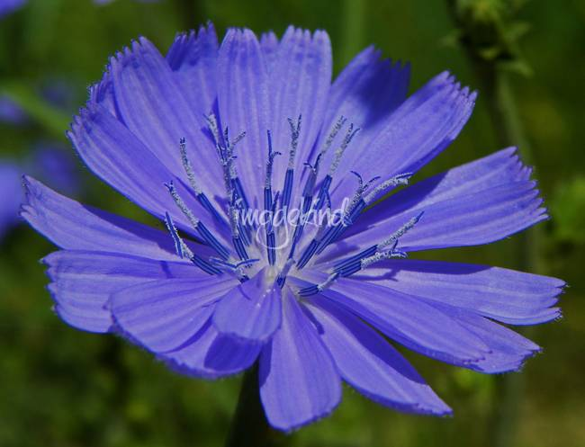 Wildflower - Cichorium Intybus - Outdoors Floral