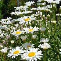 Daisies in Summer