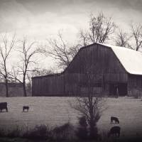 Barn and Cows Art Prints & Posters by Michelle Morris