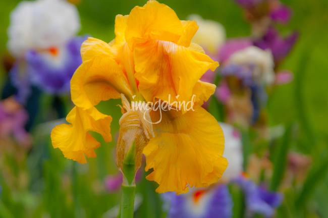 Yellow Orange Iris