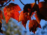 Red Maple leaves_3966