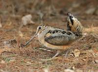 American Woodcock Photograph