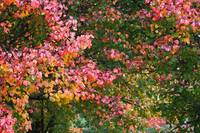 Autumn Colored Leaves