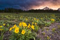 Balsamroot Wildflowers and Stormy Sunset