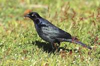 Brewer's Blackbird Photograph