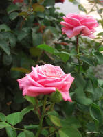 Pink Roses in Anzures 5