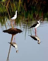 Black Neck Stilts Reflection