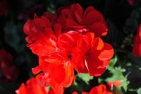 Deep Red Flower partial shade