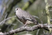 Inca Dove Photograph