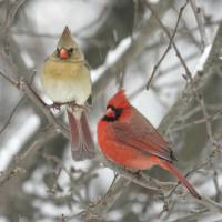 """Northern Cardinal Photograph"" by ArtLoversOnline"