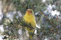 Western Tanager Photograph
