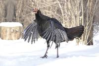 Wild Turkey Photograph