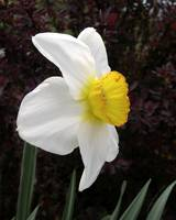 Daffodil Flower Record Photograph