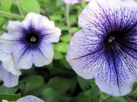 LIght Blue Petunias