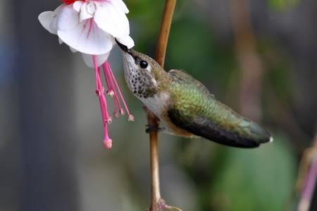 Hummingbird Uses the Lazy Way to Feed