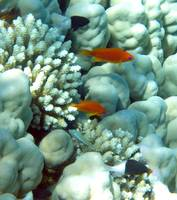 anthias with half-n-half chromis